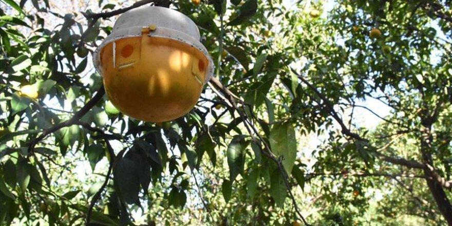 Bodrum mandalinasına esanslı koruma