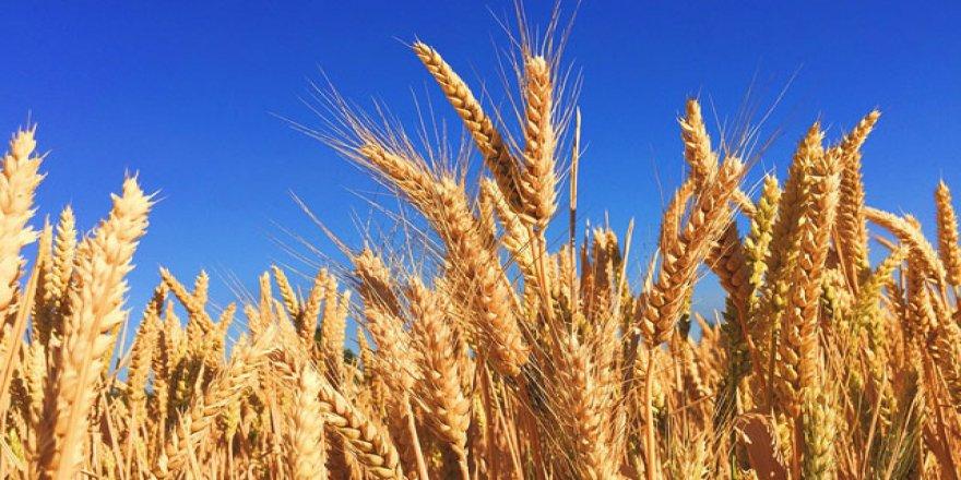 Buğday masum çıktı