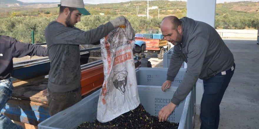 2 bin 400 ortaklı zeytinyağı fabrikası kurdular