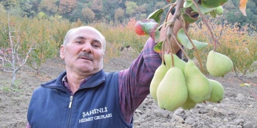 Subhanallah! Armut ağacında iki ay ara ile meyve yaratıldı