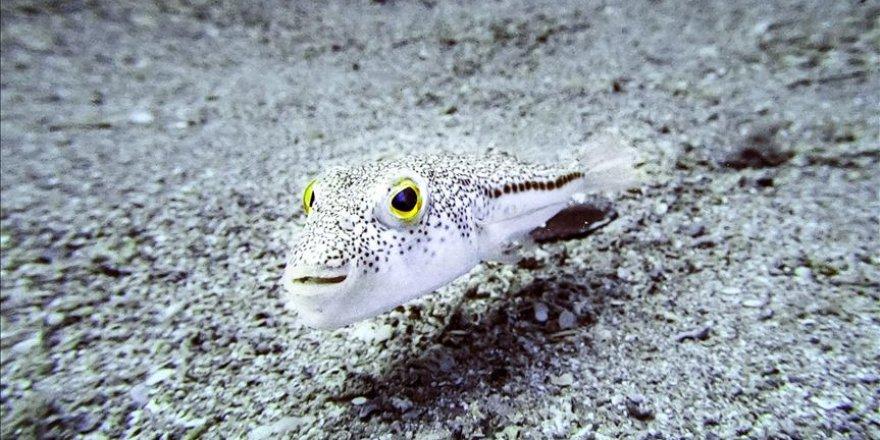 Balon balığı Akdeniz'in ekolojisine ve ekonomisine zarar verdi