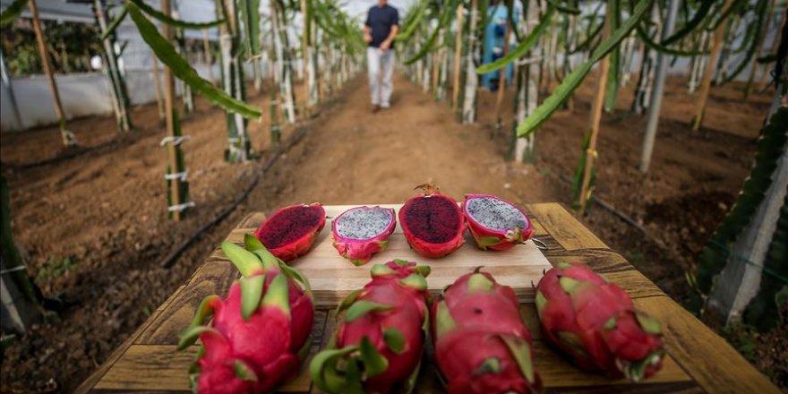 Bursalı çiftçi hem ejder meyvesi hem de fidesini üretiyor