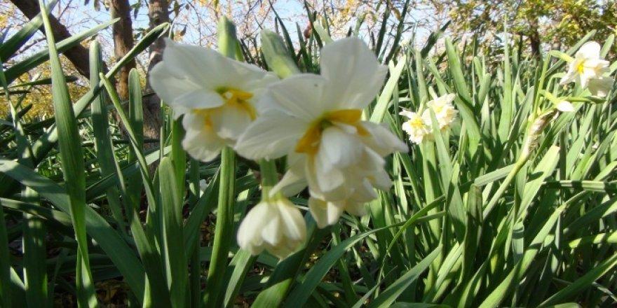 Nergis çiçekleri çiftçinin gelir kapısı oldu