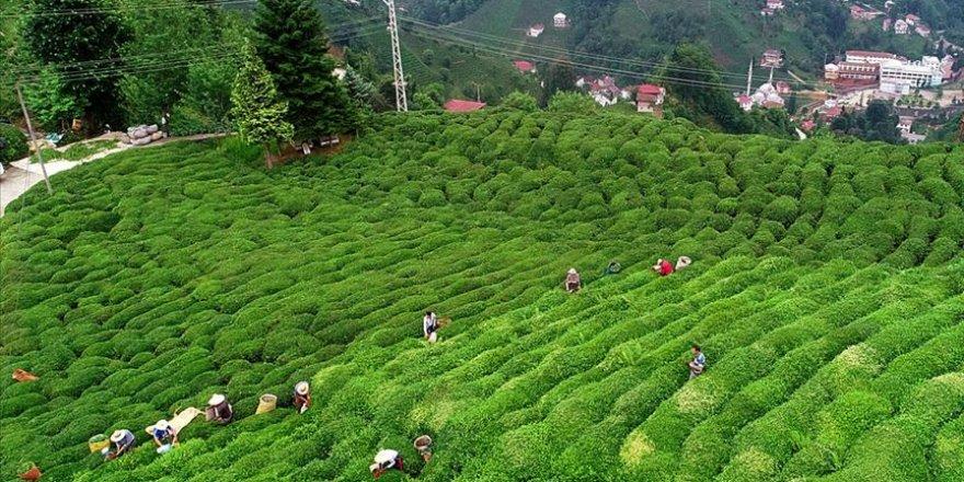 Çay ihracatından 13,2 milyon dolar gelir elde edildi