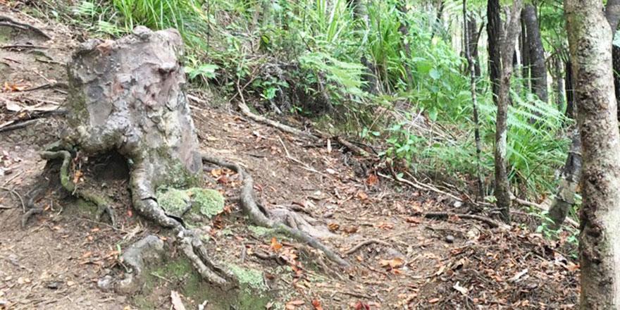 Ağaçlar ölmekte olan kütüğü kurtarmak için suyunu paylaşıyor