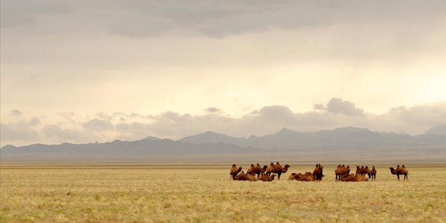Avustralya'da 10 bin yabani deve vurularak itlaf edilecek