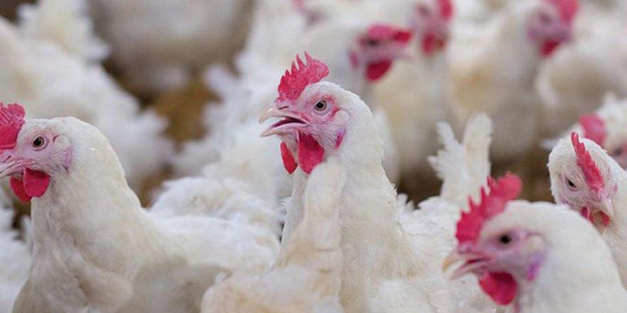 Tavuk etinde yeni karmaşa! Laboratuvarda üretilmeye başlandı