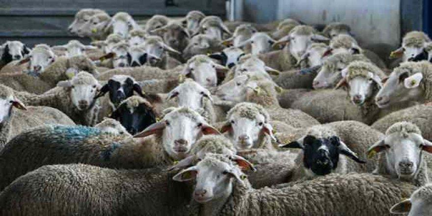 Türkiye'de bir ilk: 150 bin hayvanın soy kütüğü oluşturulacak