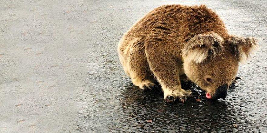 Avustralya'daki yangınlar sonrası yağmur yağdı, koalalar asfalttan su içti