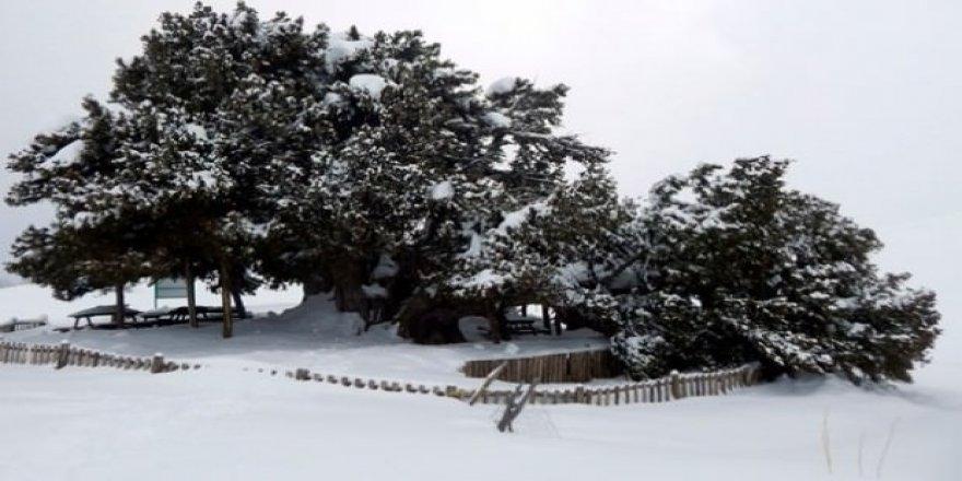 İki bin yaşındaki ağaç kar yağışına dayanamadı