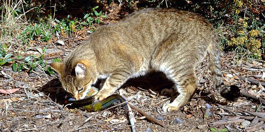 Avustralya akıllanmıyor: Şimdi de kedileri katledecekler