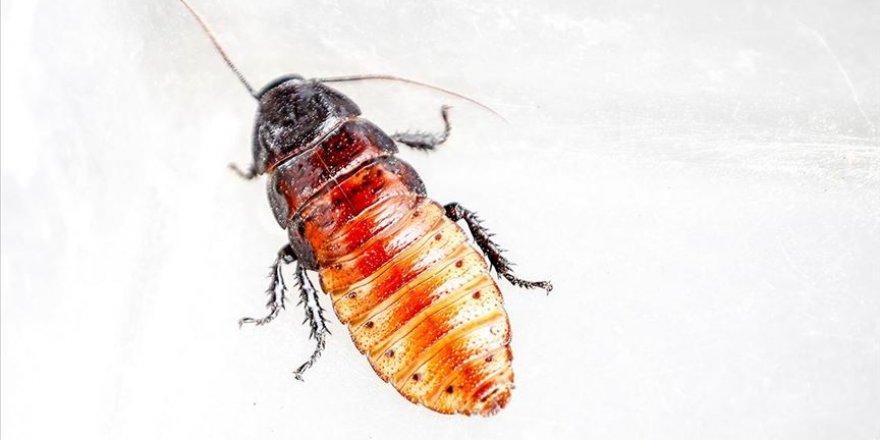 Hamam böceğinin tanesi 10 liradan alıcı buluyor