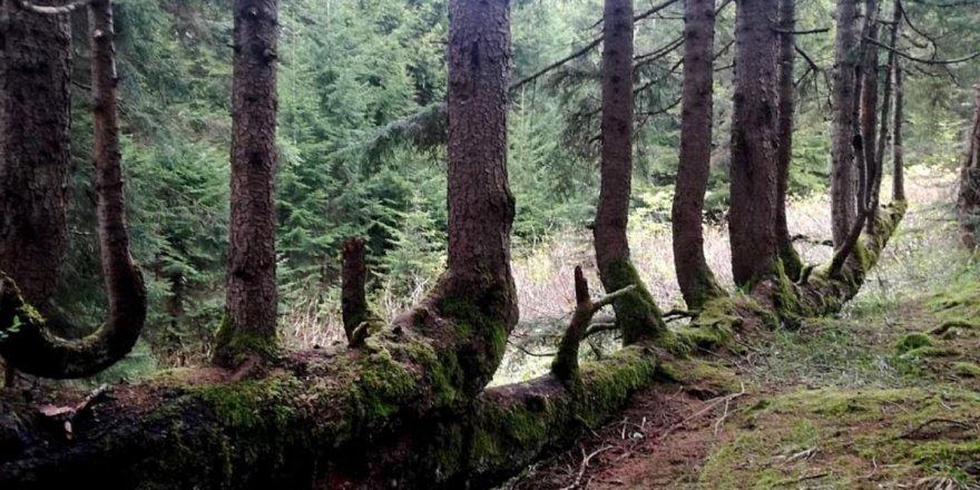 Subhanallah! Gövdesinden 17 ağaç yetişen 300 yıllık ladin ağacı
