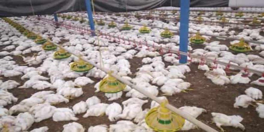 Sakarya'da havalandırma arızalandı : 27 bin 500 tavuk telef oldu