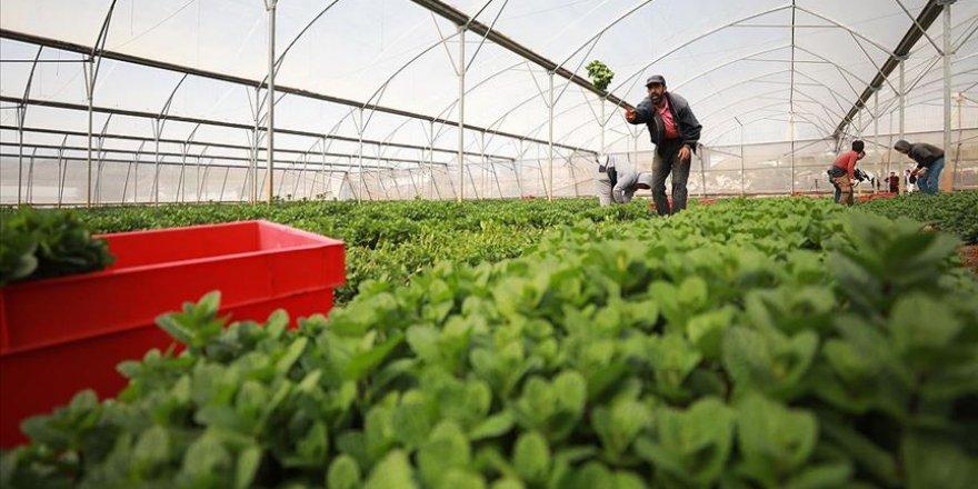 İsrail'in Filistin tarım ürünlerinin ihracatını engellemesi ekonomide yıkıma neden olabilir