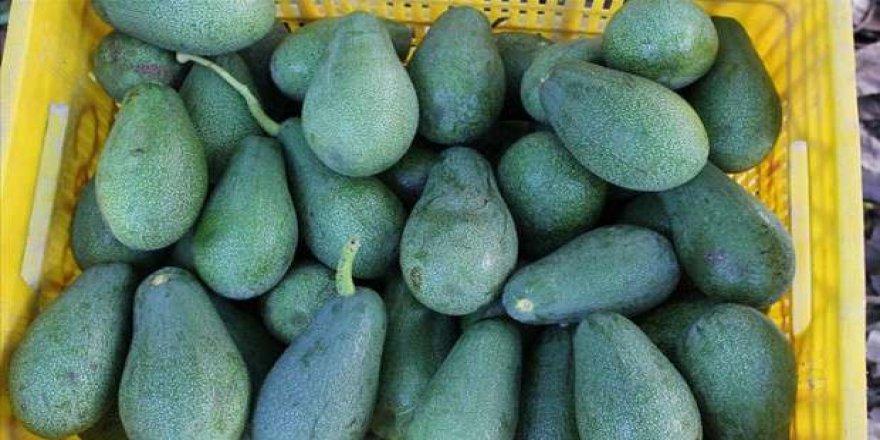 Avokado ihracatı 5 yılda 41 katına çıktı