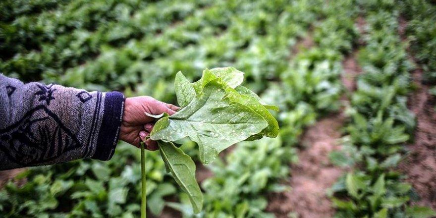 İsrail'in Gazze'ye sıktığı böcek ilaçları tarım arazilerini ve Filistin ekonomisini tehdit ediyor