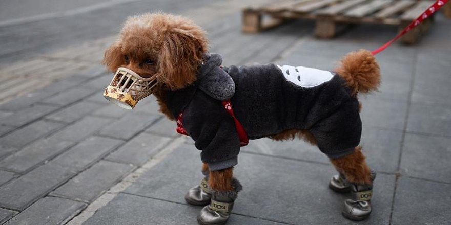 Hong Kong'da evcil köpekte koronavirüse rastlandı; hayvan karantinaya alındı