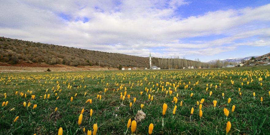Tabiat uyandırılıyor: Sarı çiğdemler hayran bırakıyor