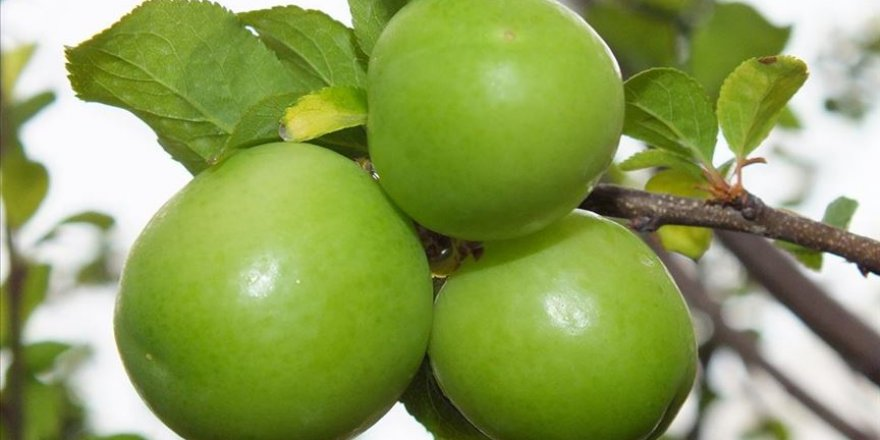 Antalya toptancı halinde yeşil eriğin kilosu 750 lira