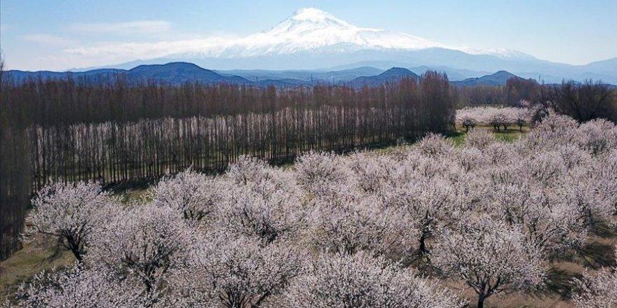 Kayısı bahçeleri 'beyaz gelinliği' ile ziyaretçilerini etkiliyor
