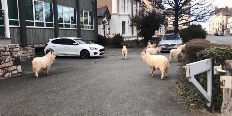 Koronavirüs nedeniyle boş kalan sokakları yabani keçileri bastı