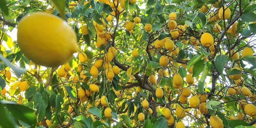 Limon ihracatına konulan ön izin şartı kalktı