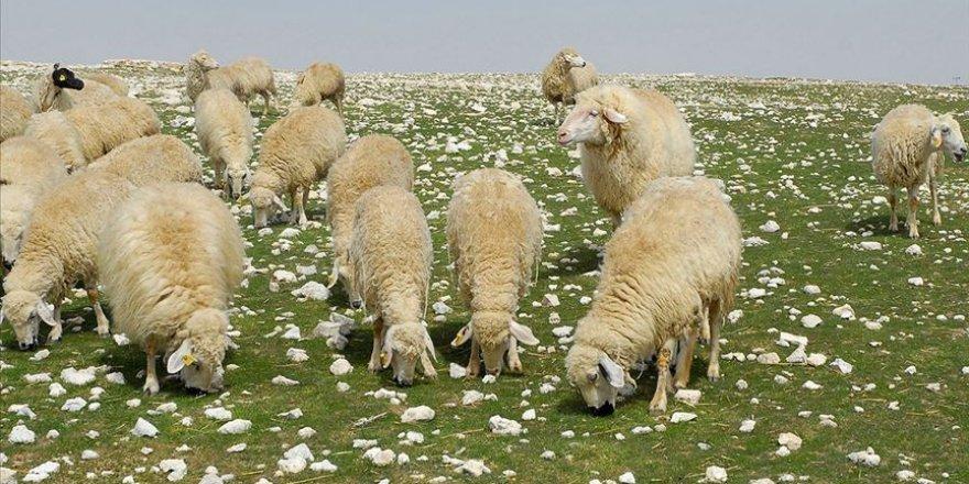 Çoban desteği bugün ödenecek