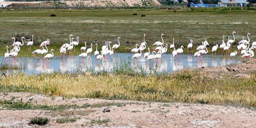 Tuz Gölü misafiri flamingolar sonbahara kadar kalacakları evlerine geldi
