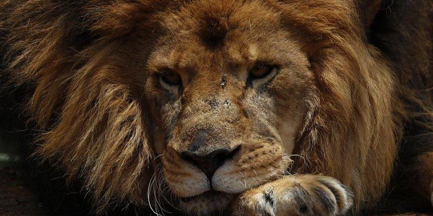Aslanların bıyıkları tıpkı insanların parmak izi gibi eşsiz yaratılmış