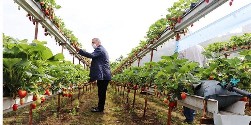 Karadeniz'de topraksız yetiştirilen çileğin hasadı başladı