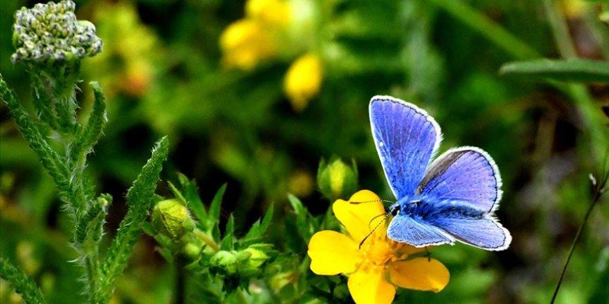 'Şehitler diyarı'nın güzellikleri kırmızı ve mavi kelebekler
