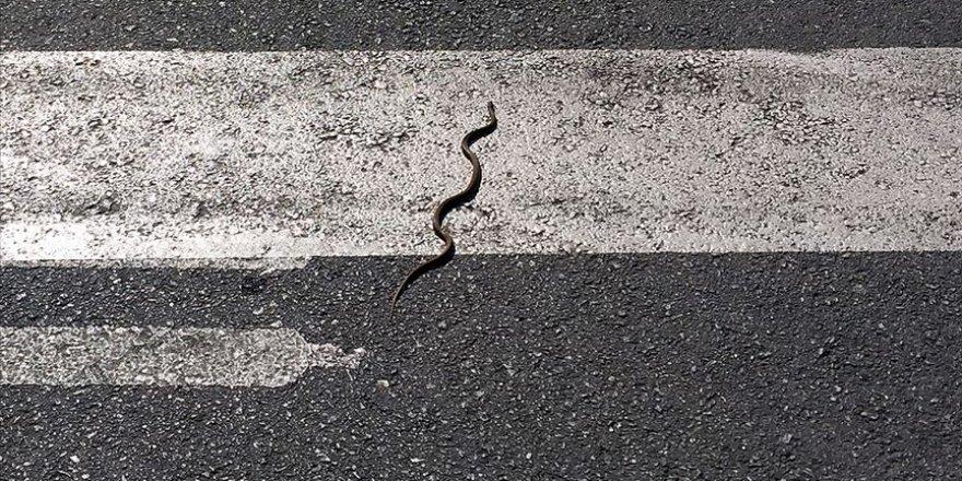 Yılanların deprem habercisi olduğu iddiası gerçeği yansıtmıyor