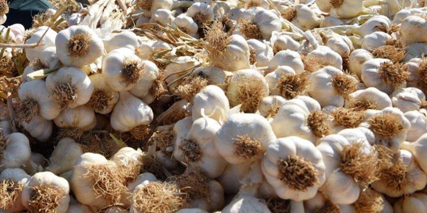 Kastamonu'nun 'beyaz altın'ında ekim dönemi başladı