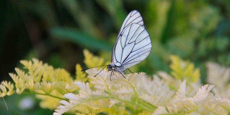 Ovacık Alıç kelebekleri ile renkleniyor