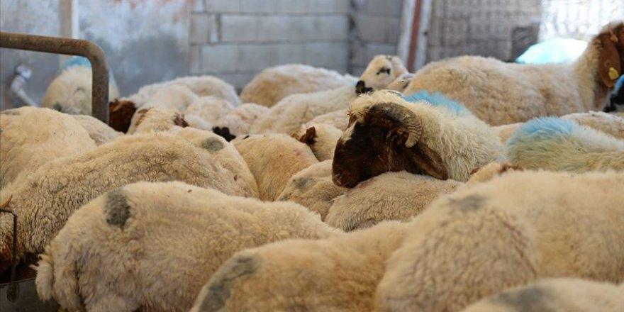 Kurbanlık alırken hayvanın sağlığına ve koronavirüs tedbirlerine dikkat edilmesi gerekiyor