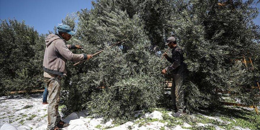 Filistinlilere ait onlarca zeytin ağacı Yahudi yerleşimcilerce kesildi