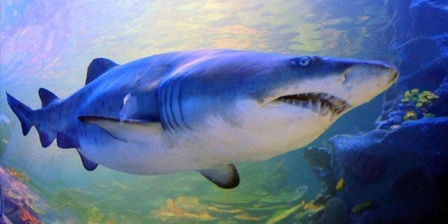 Köpek balıklarının nesli tükenme tehlikesi altında
