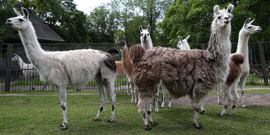 Koronavirüse şifa, 'deve'lerin akrabası lama hayvanlarında bulundu