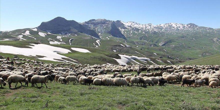Yüksek rakımlı yaylalarda özenle beslenen hayvanlar Kurban Bayramı için pazara hazırlanıyor