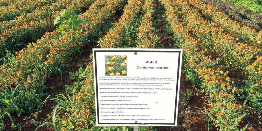 Aspir bitkisinin hasadı başladı