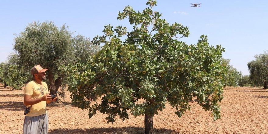 Çiftçiler drone ile Antep fıstığı nöbeti tutuyor