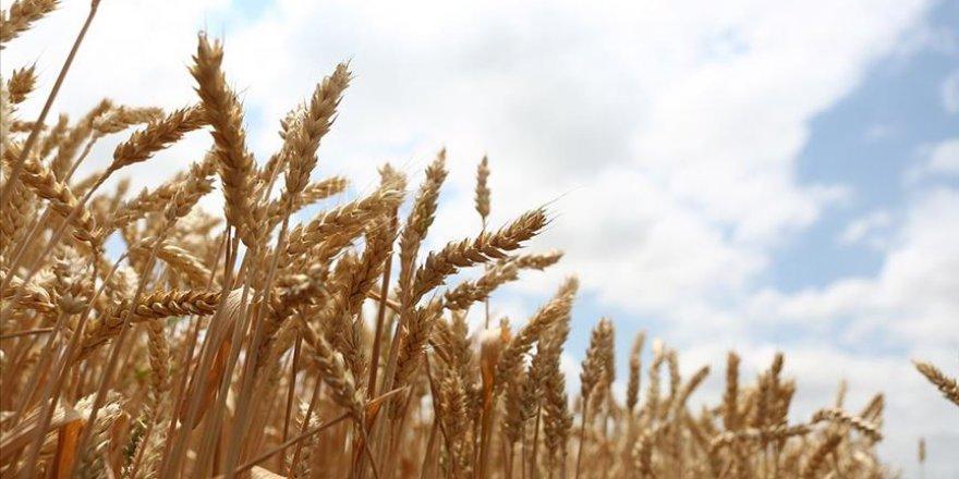 Milli tohum 'Hüseyinbey' buğday verim rekoru kırdı