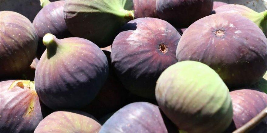 Siyah incir ihracatında 60 milyon dolarlık hedef