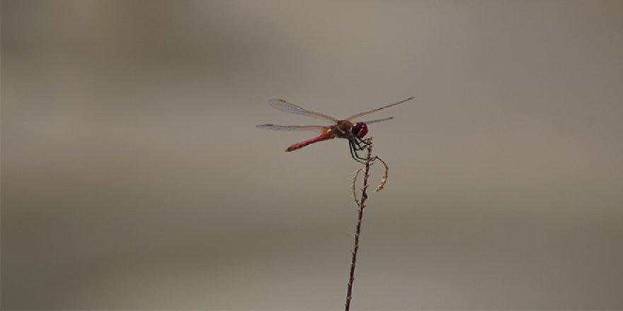 Yaratılış harikası Yusufçukların muhteşem güzellikleri