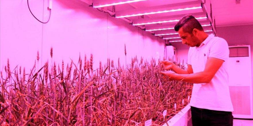 Laboratuvarda buğdayın hasadı 8 aydan 2 aya düştü
