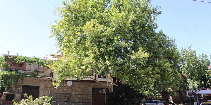 6 asırlık hasta çınar ağacı tedavi edildi
