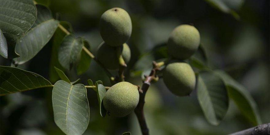 Ceviz ve badem ağaçlarından verim çağında 435 milyon lira gelir bekleniyor.