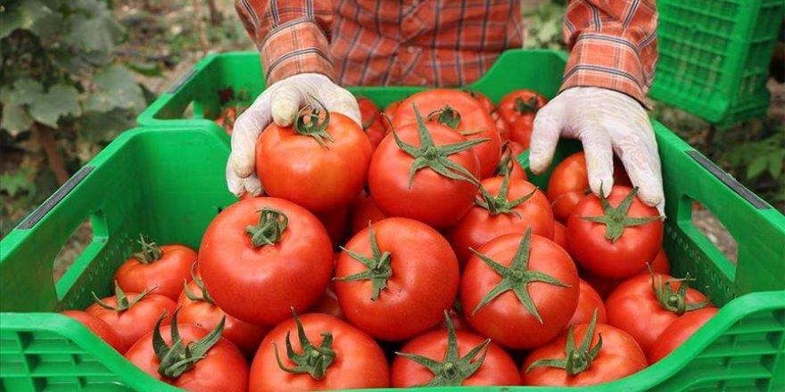 Örtü altı yayla domatesi lezzetiyle öne çıkıyor