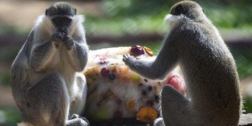 Sıcaktan bunalan hayvanlar buzlu meyve kokteyli ve suyla serinletiliyor